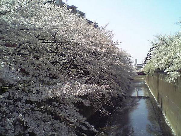 石神井川。桜、満開。