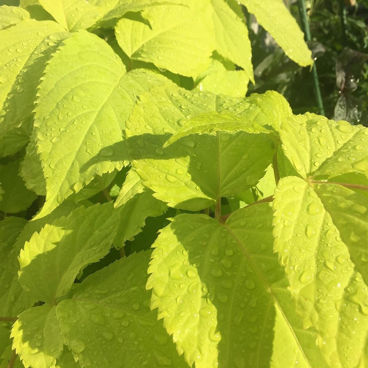 カラーリーフ ライムグリーン アラリア サンキング シェードガーデン 宿根草 植えっぱなし 育て方 黄金ウド 花