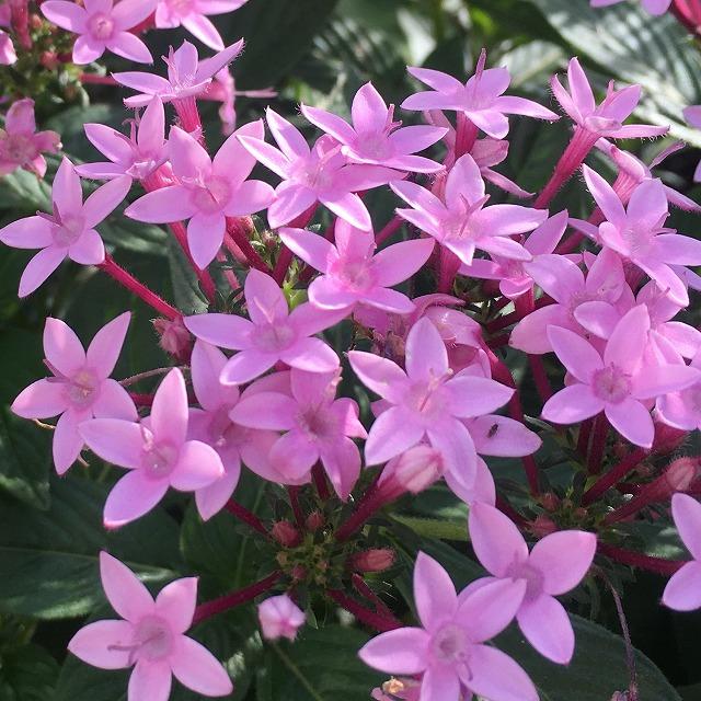 ペンタス 晴れの日の花