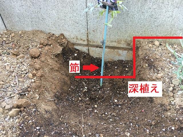 クレマチスの植え付け 深植えにする