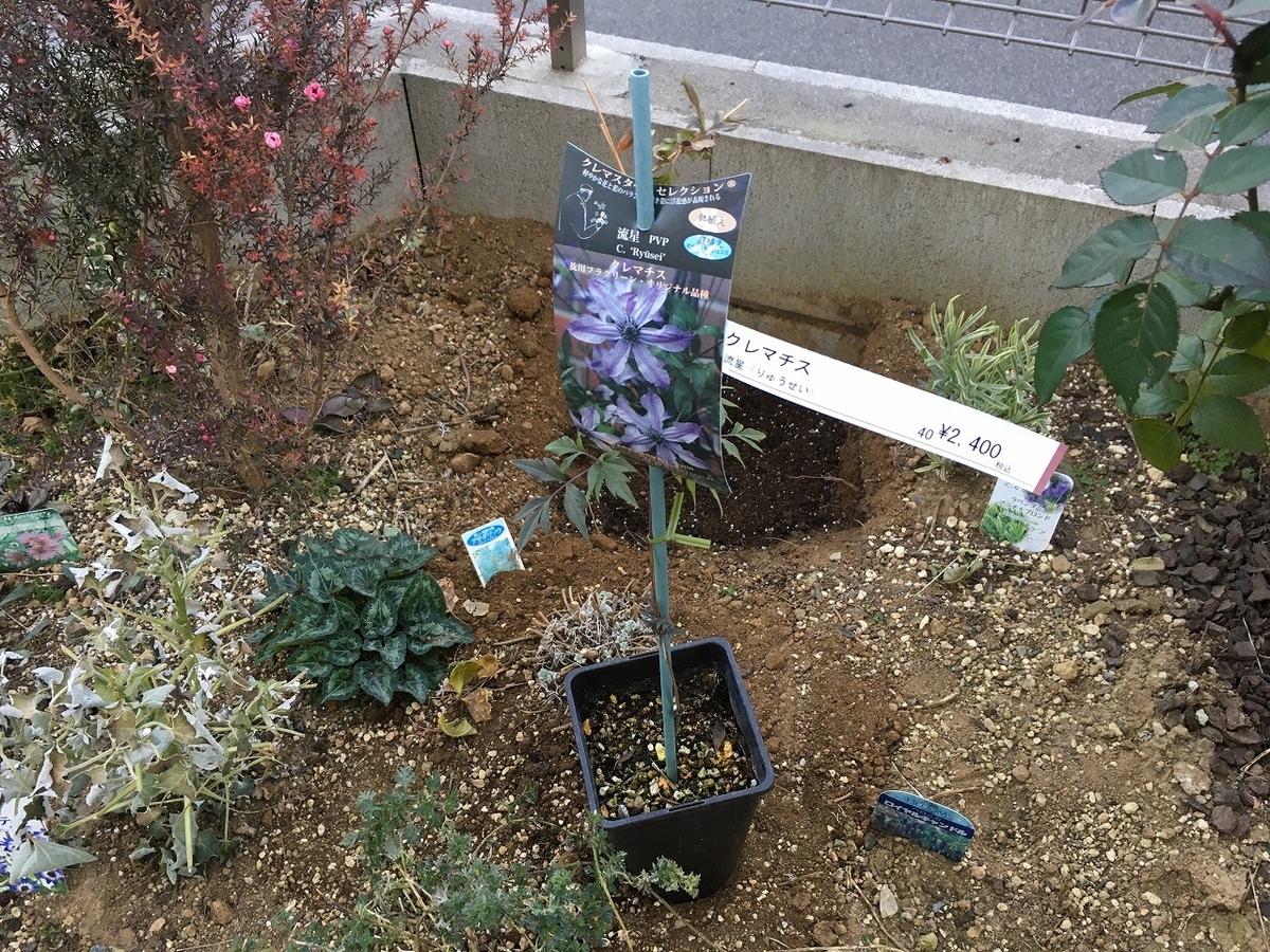 クレマチス 流星 植え付け 特徴 育て方 種類 品種 四季咲き 一季咲き インテグリフォリア 剪定 増やし方 初心者 花言葉 地植え 冬