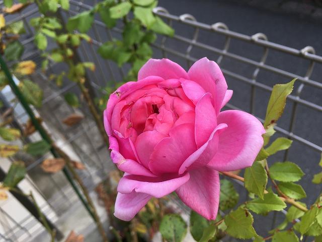 ローズポンパドゥール 2年目 11月1日 晩秋の花