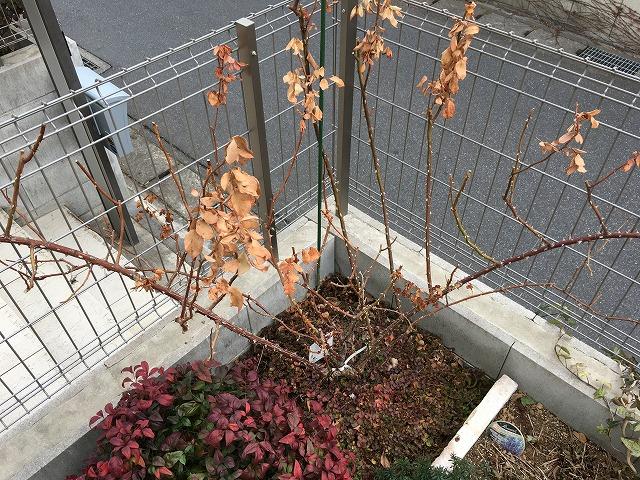 ローズポンパドゥール 2年目の剪定 まず葉を落とす