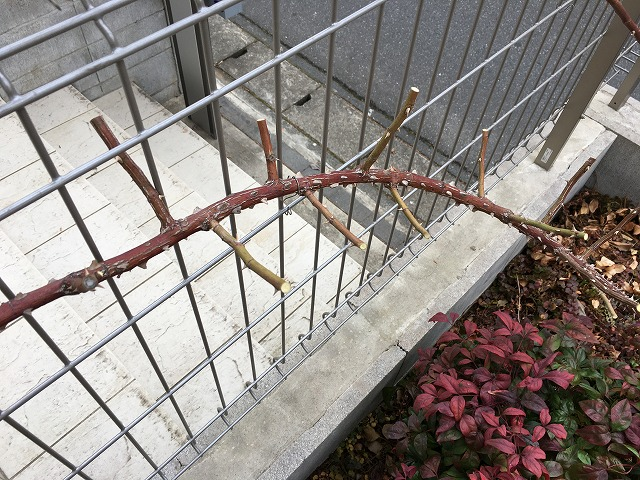 誘引した枝は側枝を2節ほど残してカット