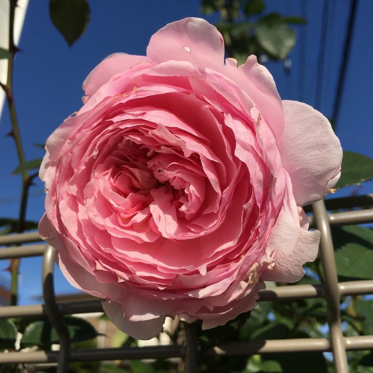 バラ 冬 剪定 誘引 寒肥 2年目 オリビアローズオースチン ローズフック 葉っぱ 初心者