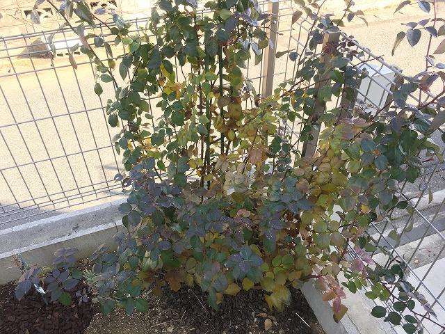 オリビアローズオースチン 葉を落とす 1月16日