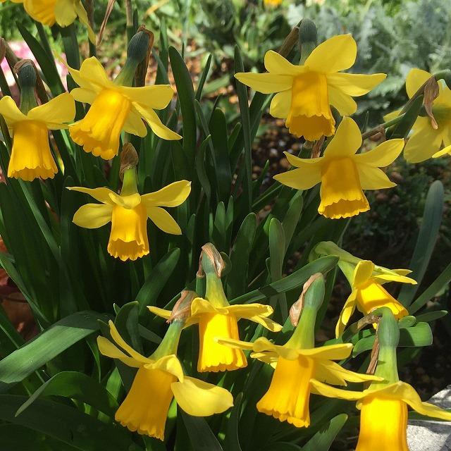スイセン 水仙 ティタティタ チタチタ テータテート 育て方 花言葉 球根 ミニスイセン 花が終わったら 花後 寄せ植え