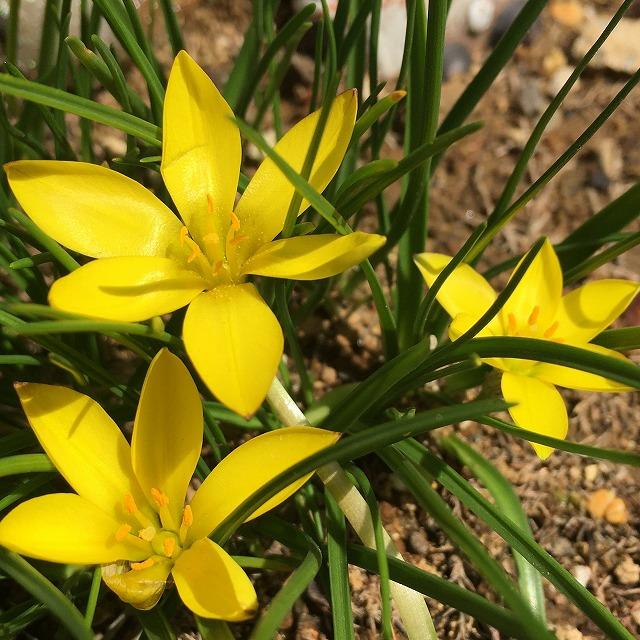 キバナハナニラ 黄花ハナニラ 育て方 花言葉 多年草 宿根草 ハナニラ 違い