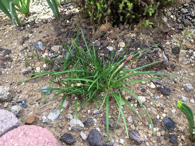 キバナハナニラ 4月4日 花の終わり