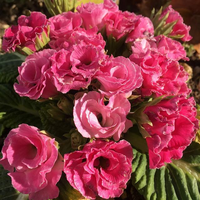 プリムラジュリアン バラ咲き 花言葉 育て方 イチゴのミルフィーユ 花壇 地植え 夏越し
