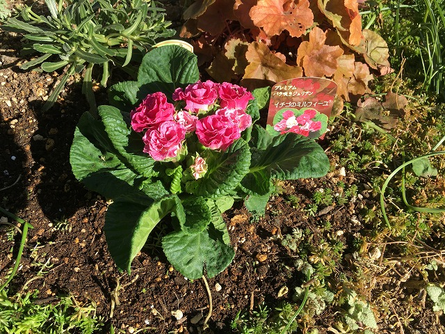 バラ咲きジュリアン「イチゴのミルフィーユ」12月20日