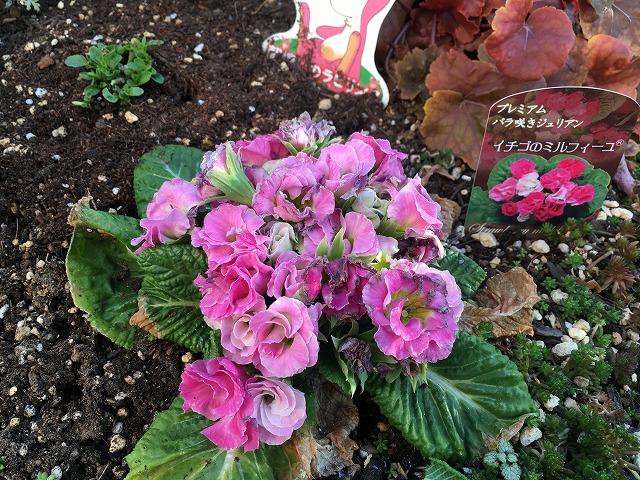 バラ咲きジュリアン「イチゴのミルフィーユ」2月21日