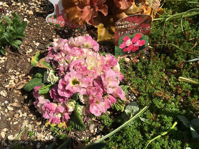バラ咲きジュリアン「イチゴのミルフィーユ」3月17日