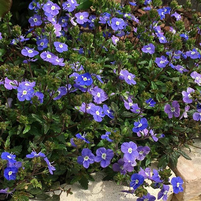 ベロニカ オックスフォードブルー 育て方 増えすぎ ホームセンター 花言葉 特徴 ウォーターペリーブルー 寄せ植え