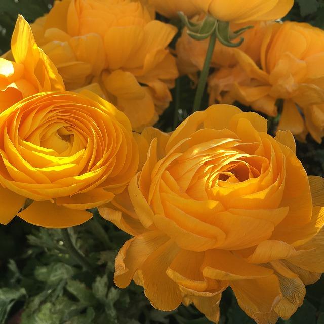 ラナンキュラス 早春のジュエリー 特徴 育て方 花言葉 ラックス 植えっぱなし 花 時期 ほったらかし 品種 季節