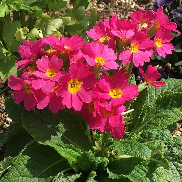ガーデンプリムラ アラカルト アラカルトシュシュ 特徴 育て方 花言葉 夏越し 地植え 花壇