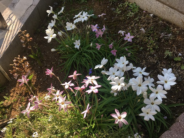 ハナニラ 2年目の開花の様子
