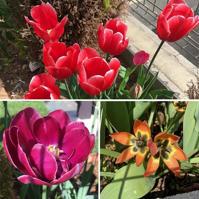 チューリップ プリンセスビクトリア ドリームタッチ リトルプリンセス 特徴 育て方 花言葉 季節 球根 植えっぱなし 花が終わったら 保存 品種 そのまま 一重咲き 八重咲き 原種系