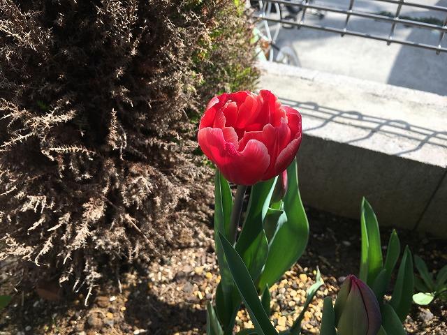 チューリップ 最初の花が開花! 3月26日