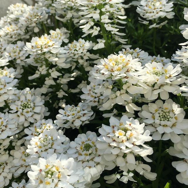 イベリス ブライダルブーケ 宿根 センパービレンス 花壇 グランドカバー 寄せ植え 常緑 冬 3年目 庭 花言葉