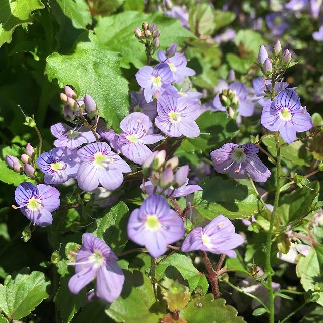 ベロニカ ウォーターペリーブルー 特徴 育て方 花言葉 オックスフォードブルー 花壇 グランドカバー