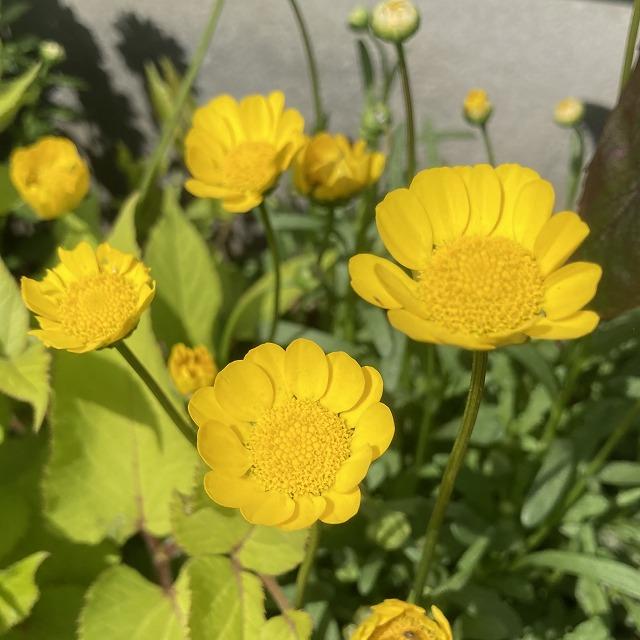 クリサンセマム ムルチコーレ アップライトイエロー 特徴 育て方 花 花壇 花言葉 ノースポール