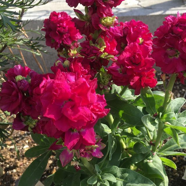 ストック 花 ベイビー 特徴 育て方 花言葉 ピンク 矮性 切り戻し