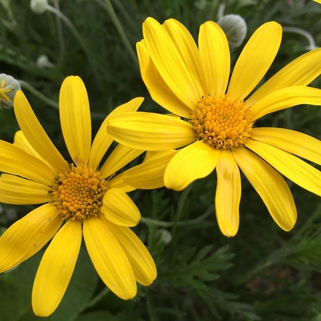 ユリオプスデージー 特徴 育て方 剪定 切り戻し 花言葉 咲かない 木質化 大きくなりすぎ