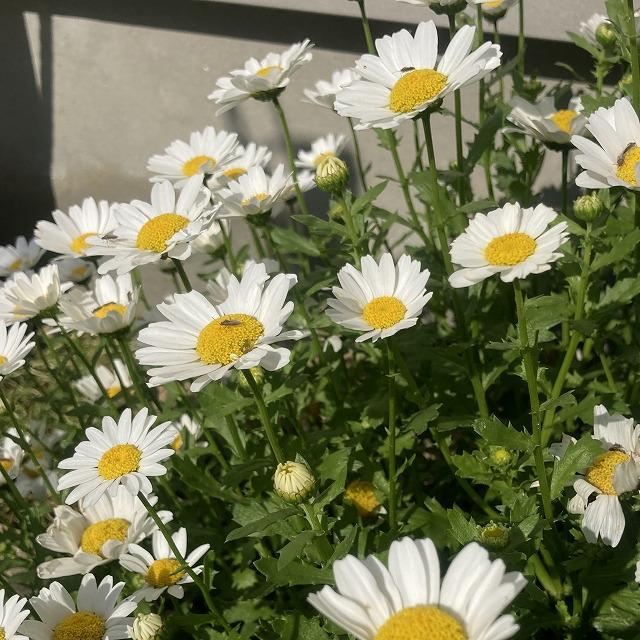 ノースポール 花 苗 花言葉 特徴 育て方 こぼれ種 クリサンセマム 花壇