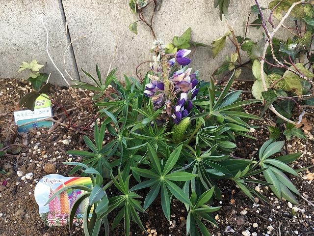 ルピナス「天までとどけ」 初めの花穂をカット 2月28日