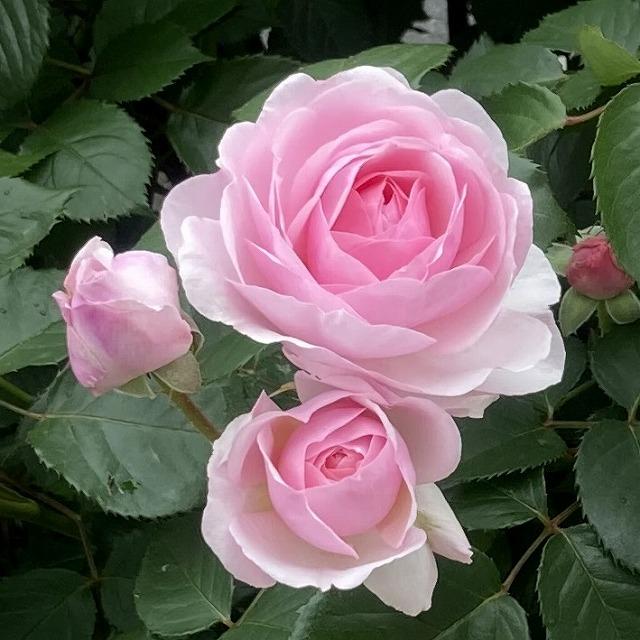 オリビアローズオースチン 春 花 3年目 バラブログ バラ 特徴 育て方 春の花