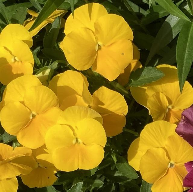 パンジー よく咲くスミレ パイナップル 特徴 育て方 花言葉 切り戻し 摘心 いつまで 剪定 しおれる