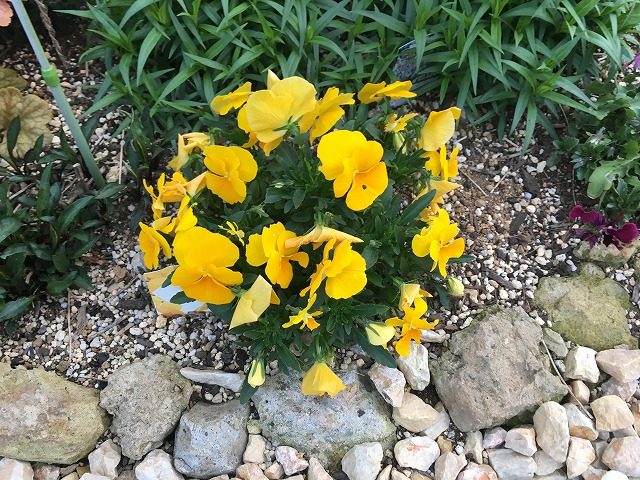 よく咲くスミレ・パイナップル 4月2日