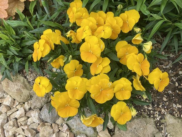 よく咲くスミレ・パイナップル 4月25日
