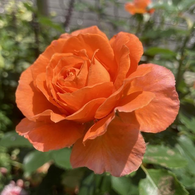ビブレバカンス バラ 特徴 育て方 オレンジ ブログ オレンジのバラ メイアン 大苗 地植え