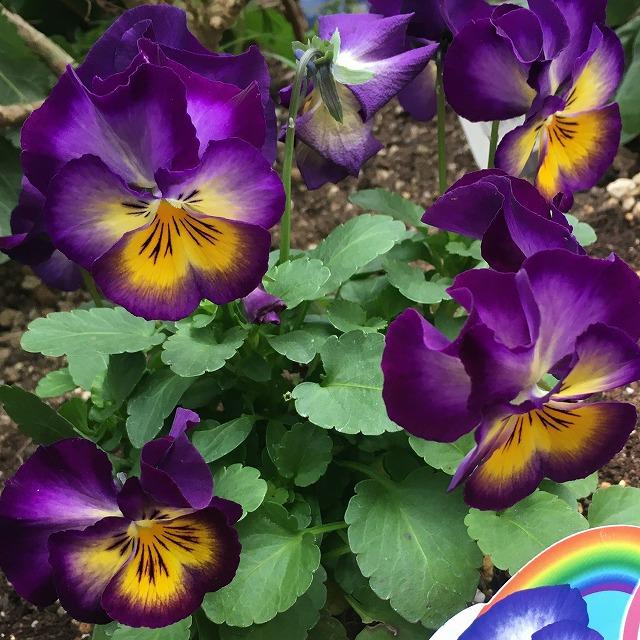 虹色スミレ ロイヤルブルー 特徴 育て方 花言葉 パンジー 種類 苗