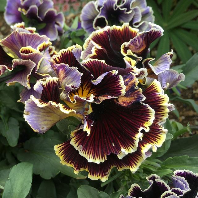 パンジー「ドラキュラ」 花のアップ