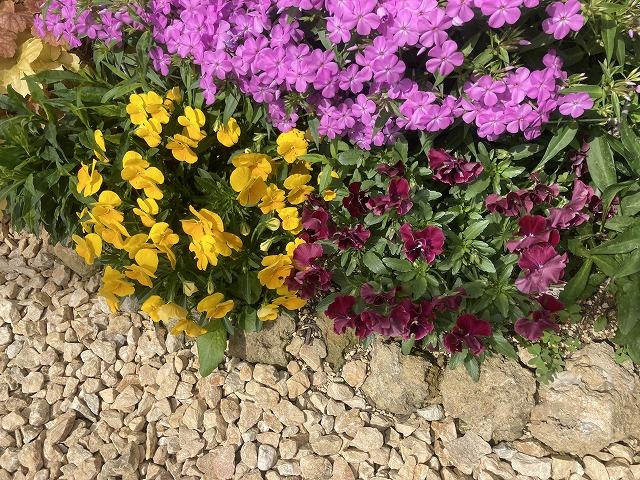 よく咲くスミレ&フロックス・フォーエバーピンクとのコラボ