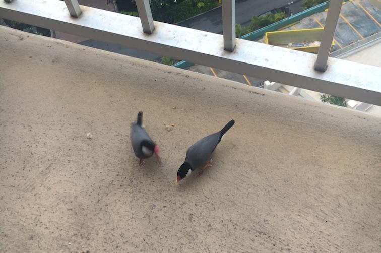 ハワイ文鳥
