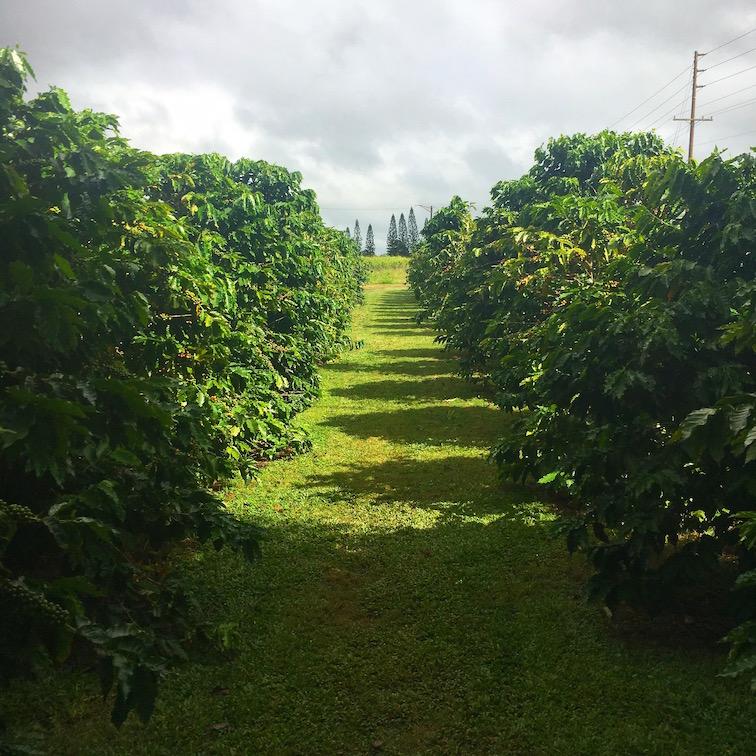 ハワイコーヒー農園