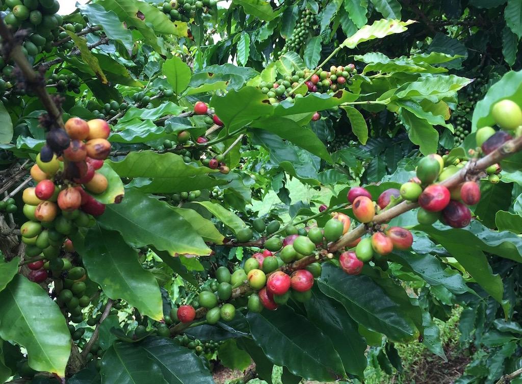 ハワイコーヒー豆