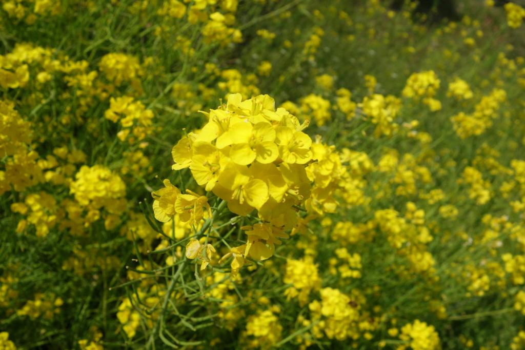 宮城県塩竈神社の菜の花