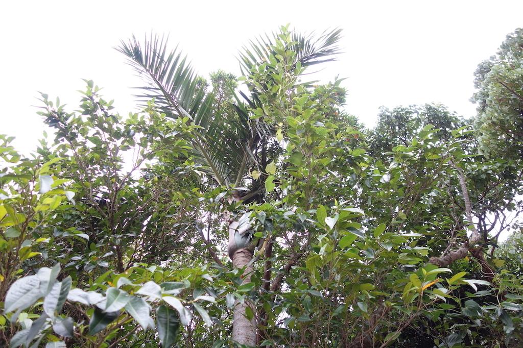 首里城公園のトックリヤシモドキの葉