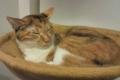 [misc] 猫カフェにて ハンモックでおやすみ中