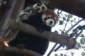 [travel] 旭山動物園・レッサーパンダ