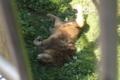 [travel] 旭山動物園・あられもない格好のライオン