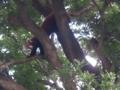 [drive] 熱川バナナワニ園 木登りするレッサーパンダ