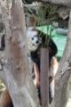 [drive] 熱川バナナワニ園 笹を食べるレッサーパンダ