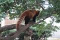 [drive] 熱川バナナワニ園 樹上のレッサーパンダ
