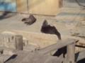 [misc] 市川動植物園にて コツメカワウソの食事